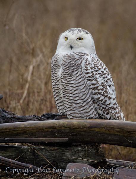 Snowy Owl #2 at Boundary Bay