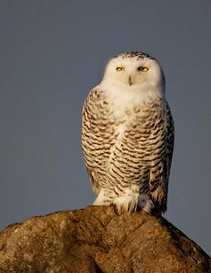 Snowy Owl @Sunrise