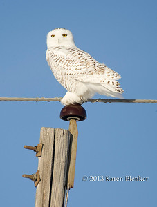 Snowy Owl - Sauk Rapids, MN taken Dec 2013