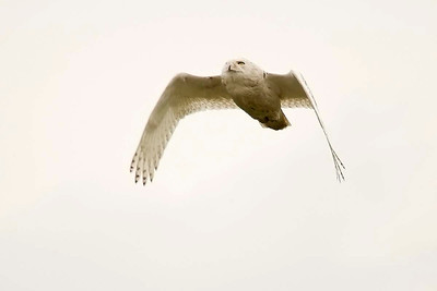 Snowy owl in flight1