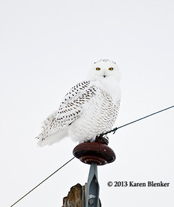 Snowy Owl - Holdingford, MN taken Dec 2013