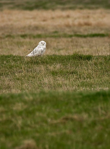 Snowy Owl in grass
