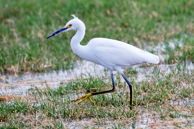 Snowy Egret searching for crickets in flood irrigated field