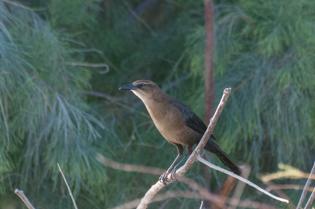 Great-tailed Grackle, female, southern California