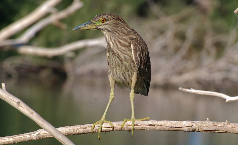 Black-crowned Night Heron juvenile. Note the similarity to Green Heron in shape but different coloration.
