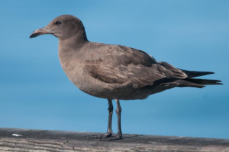 Heerman's Gull, 1st winter