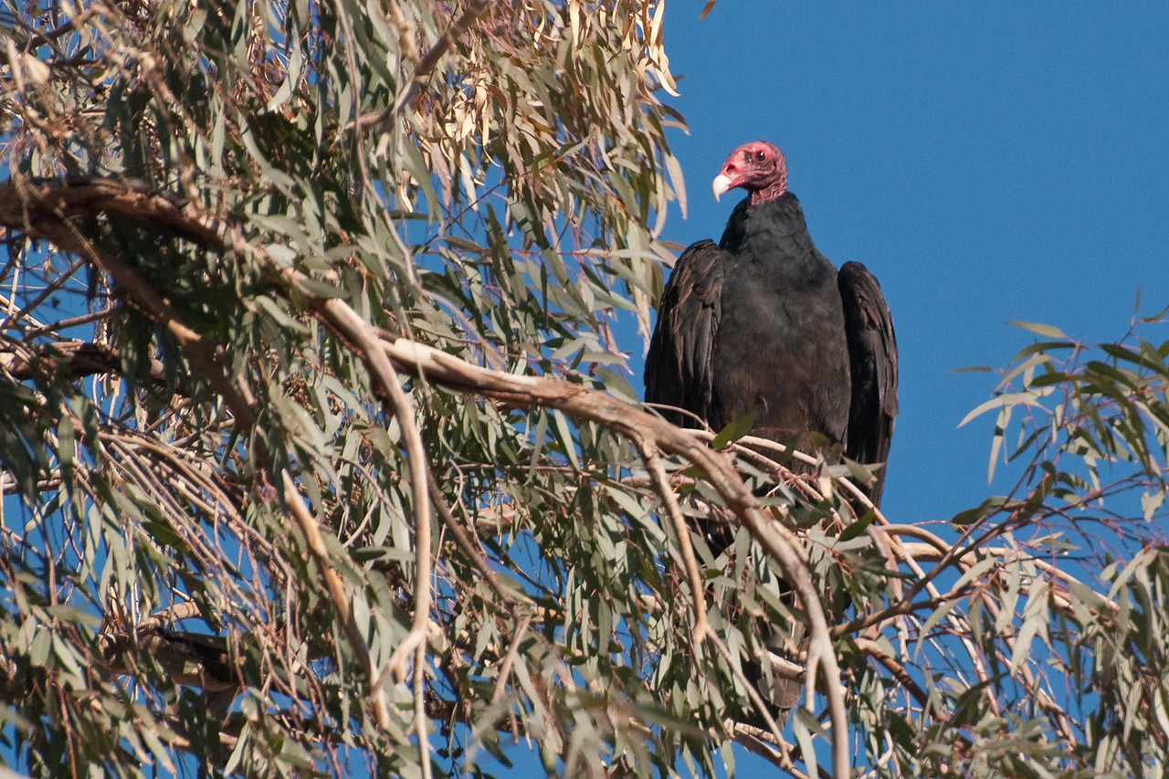 Turkey Vulture at Roost