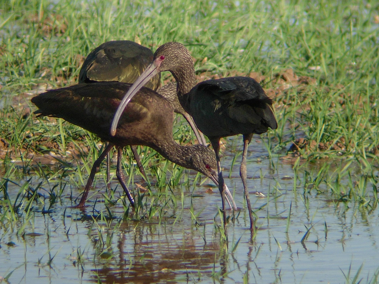 White-faced Ibis, Winter, So. California
