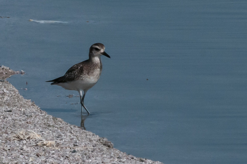 Black-bellied Plover, Salton Sea