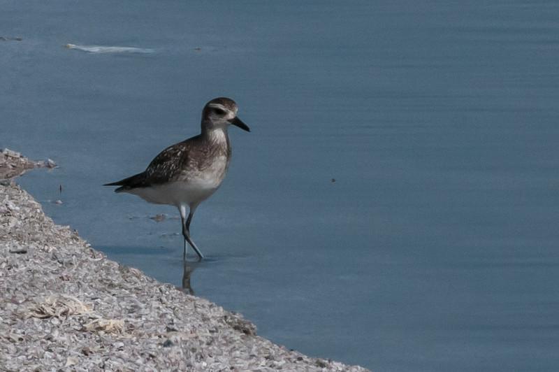 Black-bellied Plover, Salton Sea