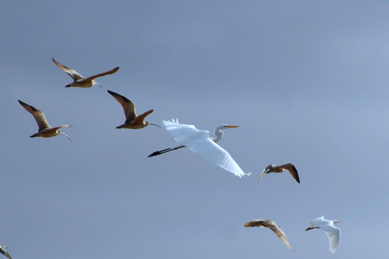 Great Egret with Long-billed Curlews