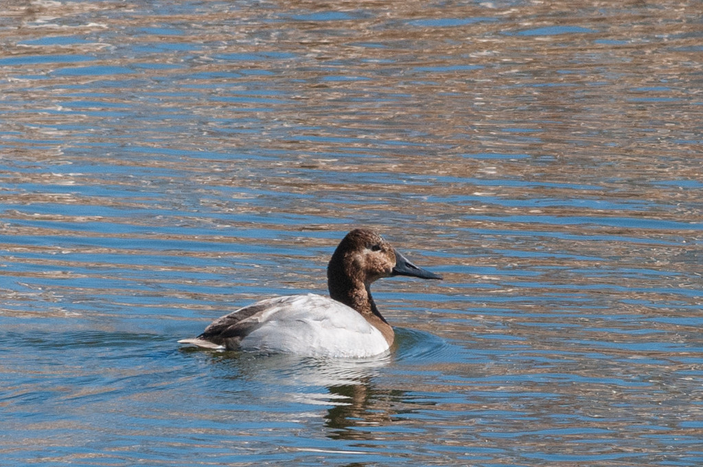 Canvasback Hen, at Jacumba