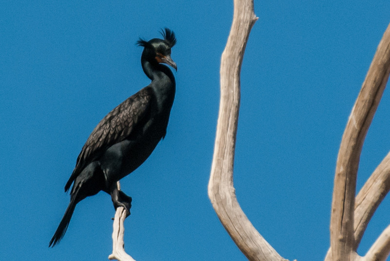 Double-crested Cormorant with double crests