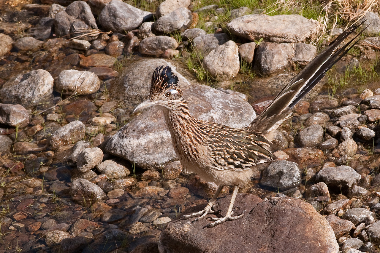 Greater Roadrunner, Borrego Springs, California