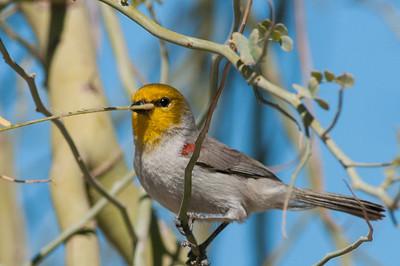 So Cal Winter Birds