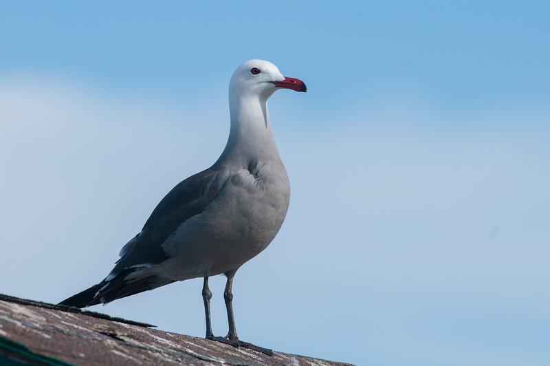 Heermann's Gull Breeding