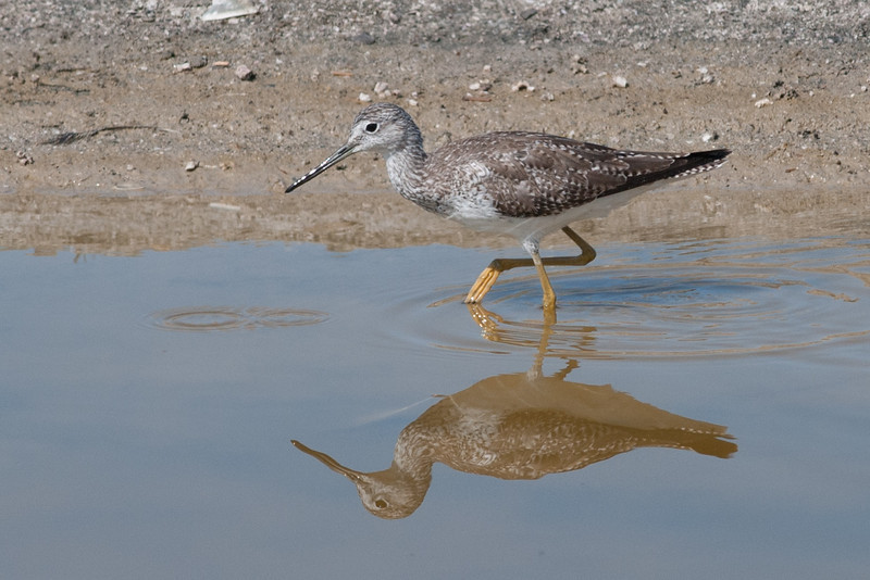 Lesser Yellowlegs, Salton Sea