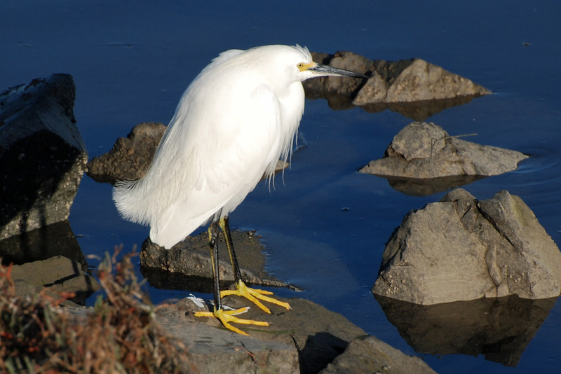 Snowy Egret showing off it's Golden Slippers.