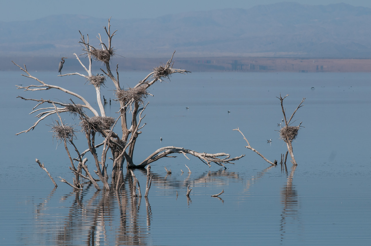 Great-blue Heron Rookery on Salton Sea