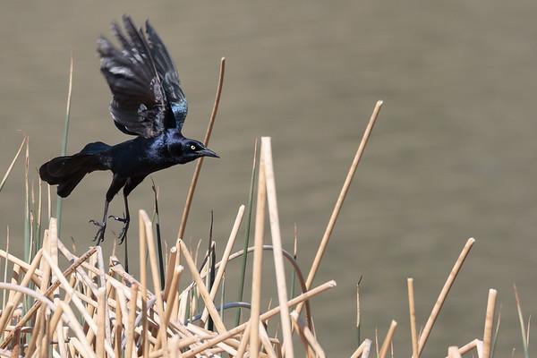 Blackbirds and Allies