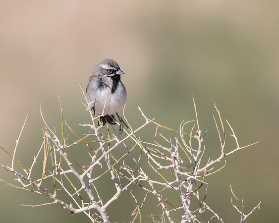Sparrows and relatives