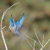 Bluebird Dive