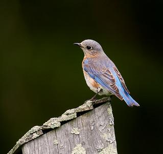 Bluebird on box