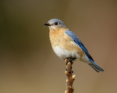 Eastern Bluebird