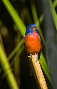 Mle painted bunting