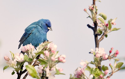 Indigo Bunting on Apple Tree
