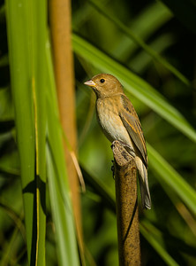 Female indigo