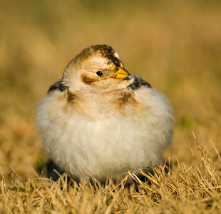 Snow bunting at Salisbury