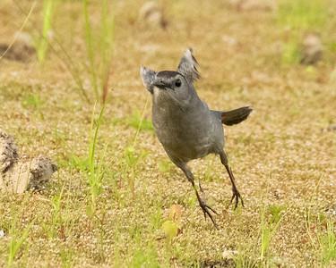 Brown Headed Catbird