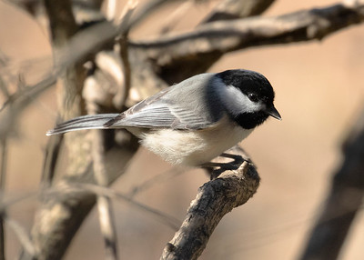 Black Capped Chickadee in Spring, 2020