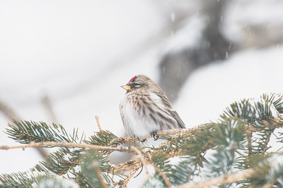 common redpoll_1949