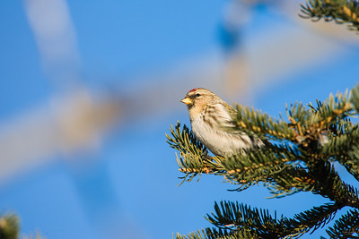 common redpoll_1871