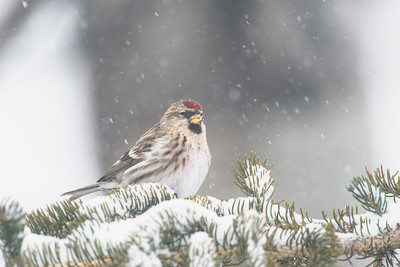 common redpoll_1956