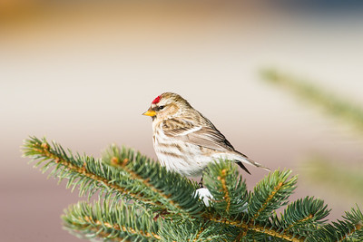common redpoll_1727