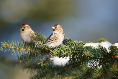 common redpoll_1781