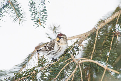 common redpoll_2012