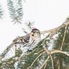 common redpoll_2012