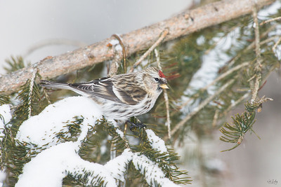common redpoll_2011