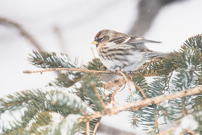 common redpoll_1971