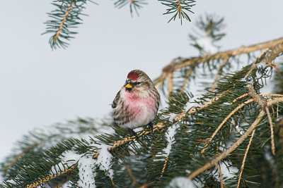 common redpoll_2006