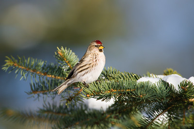 common redpoll_1784