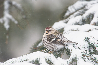 common redpoll_1976