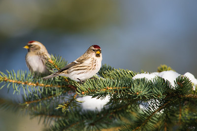 common redpoll_1780