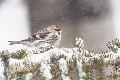 common redpoll_1974