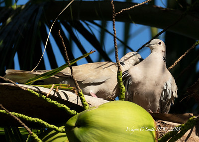 Eurasian Collared Dove in Palm Tree