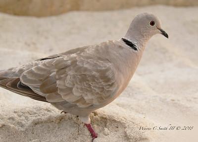 Eurasian Collared Dove, Key West, FL
